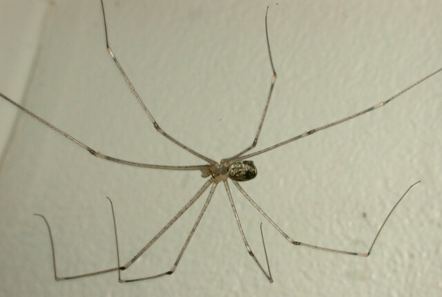 Steve S Spider Pics Daddy Long Legs