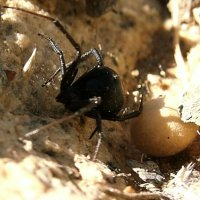 Redback with egg sac