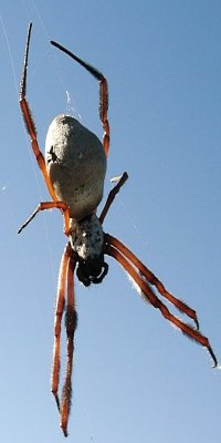 Golden orb, has a hitchhiker