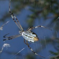 Tear Drop Spider found east of Alice Springs