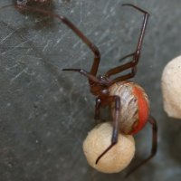 Female Redback with egg sac