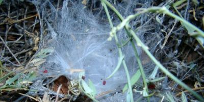 Black wishbone spider's webbing on the ground, leads to an underground burrow